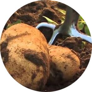 vendita patate